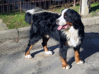 English: Bernese Mountain Dog, Bernski planins...